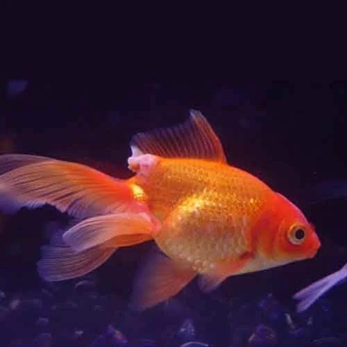 Aquarium Fish Gold Fish Manufacturer From New Delhi