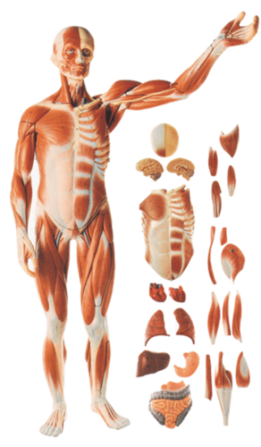 human body models full size human body showing muscles organs
