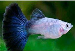 Guppys Aquarium Fish And Discus Aquarium Fish Service Provider