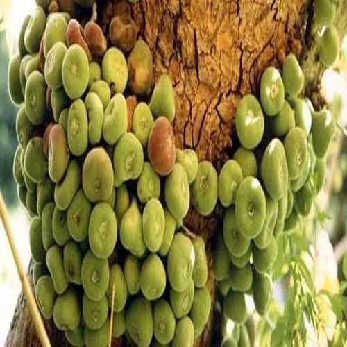 Fig Baby Food